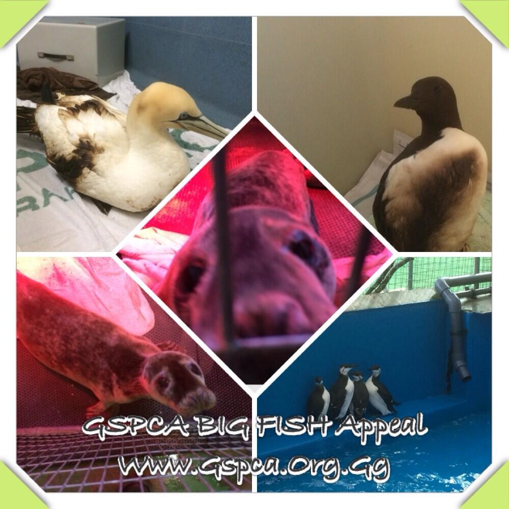 Big Fish Appeal for the GSPCA seal and seabirds at the Animal Shelter in Guernsey