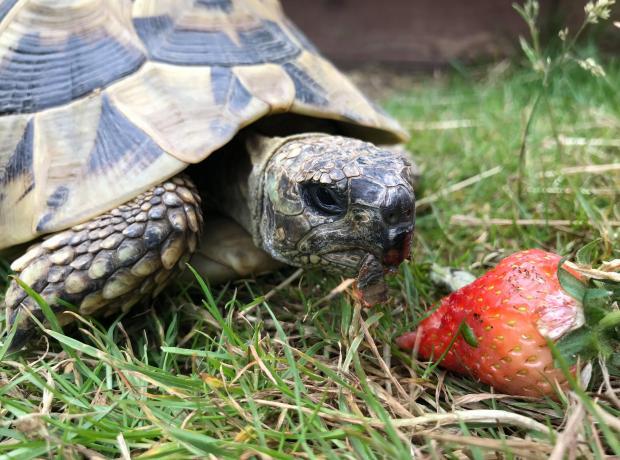 Tortoise   GSPCA Guernsey