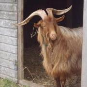 Jack the Guernsey Goat visits the GSPCA