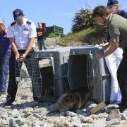 Seal pups Trinity and Eden are back in the wild - Thank you to all involved with the fantastic release on Jethou with the GSPCA